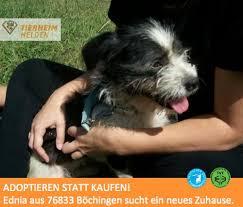 australian shepherd 1 jahr kaufen best 25 welpen tierheim ideas on pinterest tierheim hunde