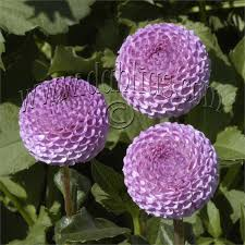 dahlias flowers get top quality dahlias by shopping and ordering flowers online