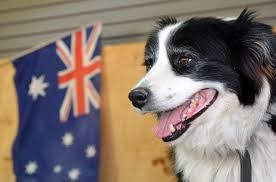 australian shepherd dog names 35 australian dog names from the land down under cuteness