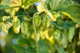 hops roy farms