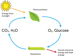 Photosynthesis And Cellular Respiration Worksheet Biochemical Reactions Ck 12 Foundation