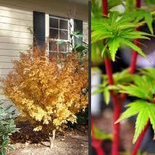 buy fjellheim coral bark japanese maple 2 gallon new