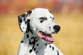 dalmatian bred american kennel club