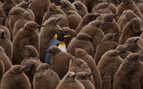 terra penguinia king penguin creches at saint andrew u0027s bay and