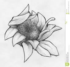 drawn daisy pencil drawing pencil and in color drawn daisy