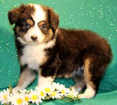 australian shepherd puppies near me australian shepherds for sale near me best 25 aussie puppies