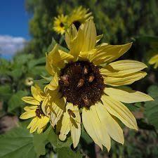 shelled sunflower seed ebay
