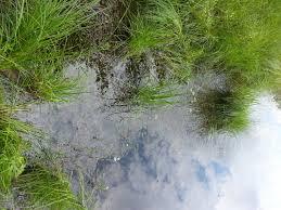 fort pond native plants waterwheel plant aldrovanda vesiculosa factsheet