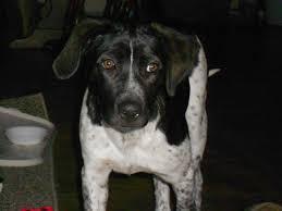 bluetick coonhound fun facts bluetick coonhound mix temperament st bernard history u0026