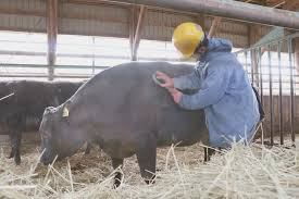abashiri family inmates in hokkaido raise beef cattle to learn about value of life