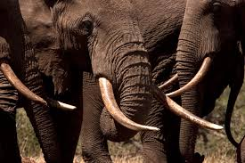 woolly mammoth ivory legal u0027s problem elephants