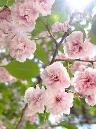 white cherry blossom the white cherry blossom picture of geumjung mt fortress busan