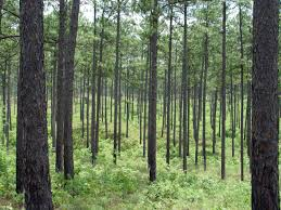 Louisiana forest images Panhandle forestry services jpg