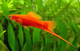 tropical fish asia ornamental fish family most popular in malaysia