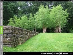 these multi stemmed silver birch ornamental trees shrubs