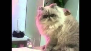 Table Throw Meme - thug cat knocks glass off table youtube