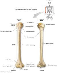 Anatomy And Physiology Skeletal System Test The Skeletal System