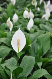 Peace Lily Spathiphyllum Wallisii Peace Lily