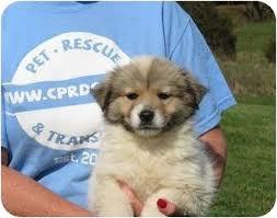 australian shepherd puppies rescue treasure adopted puppy westbrook ct australian shepherd