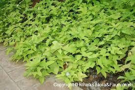 flora fauna web plant detail ipomoea batatas margarita