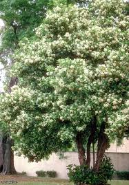 viburnum odoratissimum tiny white flowers are held in great