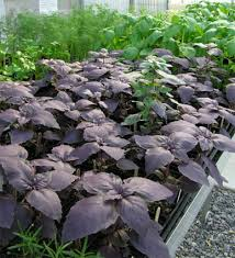 make basil a mainstay of your kitchen garden this year