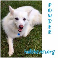 american eskimo dog winnipeg hull u0027s haven border collie rescue