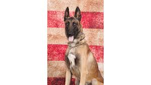 belgian shepherd los angeles porterville police dog dies after patrol car u0027s air conditioning