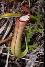 australian native water plants traps how carnivorous plants catch their prey