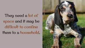 bluetick coonhound obedience 15 unknown things you should know about bluetick coonhound youtube