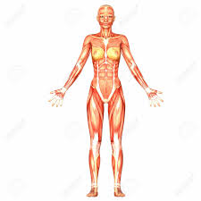 The Female Anatomy Illustration Of The Anatomy Of The Female Human Body Isolated