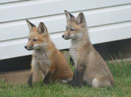 home garden archives we ha west hartford news red fox family right at home in west hartford neighborhood