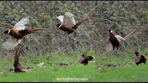 fighting cocks pheasants 1st day of spring 2017 youtube