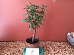 Advice for turning one these unruly plants into my dream jade