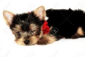 cute little yorkshire terrier with red and white christmas