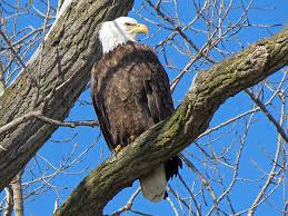 Iowa birds images Bald eagles at le claire iowa birds of prey 1 28 2012 jpg