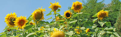 Grow Your Own Sunflower House or Fort  Melinda Myers