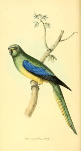221 best budgies u0026 parakeets images on pinterest parakeets