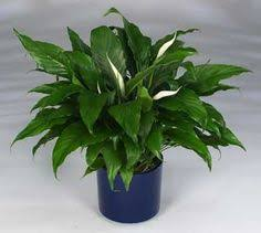 good plant for to have in the classroom peace lily care