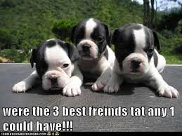 Boston Terrier Meme - slideshow boston terrier memes sure to make you smile