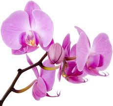 orchid pictures leis and orchids gulfport fl thai orchids and leis gulfport