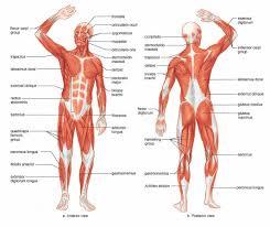 3d Human Anatomy Human Anatomy Of Muscles Concept Conceptual 3d Human Anatomy