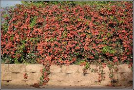 perennial flowering vines learn about vines that are perennial