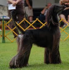 afghan hound of america 2010 news