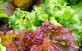 the basics of fertilizing bonnie plants