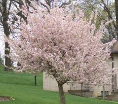 Small Backyard Trees by Best 25 Flowering Crabapple Tree Ideas On Pinterest Small Front