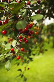 90 best fruit trees images on pinterest fruit trees backyards