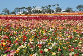 the flower fields at carlsbad ranch visit carlsbad