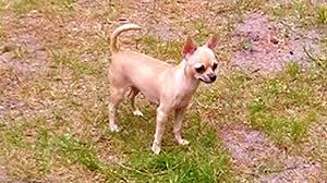 te chichi techichi kennel kennel of the smallest chihuahua in europe