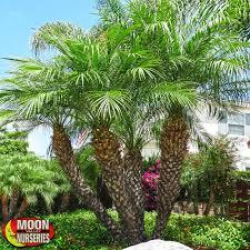 palm trees moon valley nurseries